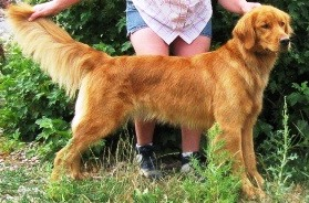 AKC Field & Home Golden Retriever Puppies - Golden Retrievers in